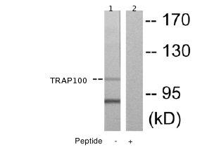 Western blot - TRAP100 antibody (ab65110)