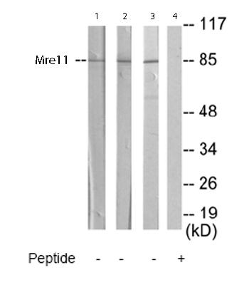 Western blot - Mre11 antibody (ab65131)