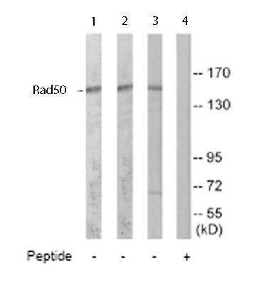 Western blot - Rad50 antibody (ab65134)