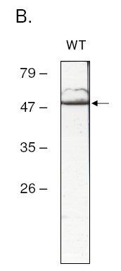 Western blot - atpB antibody (ab65378)