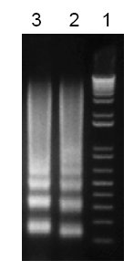 - Apoptotic DNA Ladder Isolation Kit (ab65627)