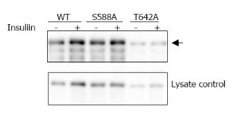 Western blot - TBC1D4 (phospho T642) antibody (ab65753)
