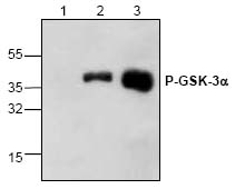 Functional Studies - AKT Activity Assay Kit (ab65786)
