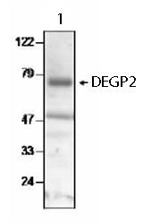 Western blot - DEGP2 antibody (ab65928)