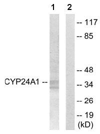Western blot - CYP24A1 antibody (ab65956)