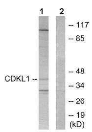 Western blot - CDKL1 antibody (ab65994)