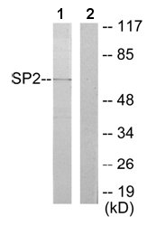 Western blot - SP2 transcription factor antibody (ab65995)