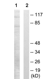 Western blot - TLE2 antibody (ab65997)