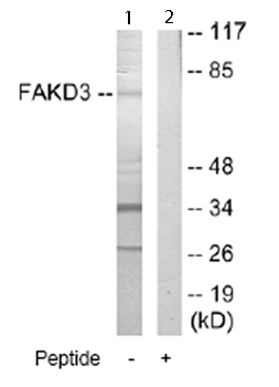 Western blot - FAKD3 antibody (ab66001)