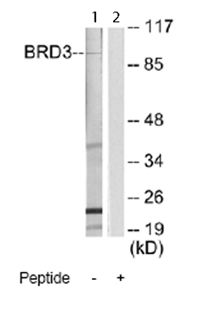 Western blot - BRD3 antibody (ab66002)