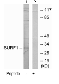 Western blot - Surf1 antibody (ab66003)