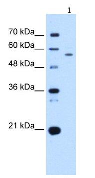 Western blot - UBXD2 antibody (ab66010)