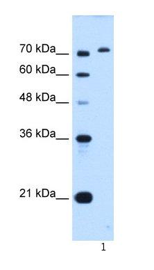 Western blot - GPAA1 antibody (ab66032)