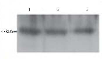 Western blot - Neurotensin antibody (ab66216)