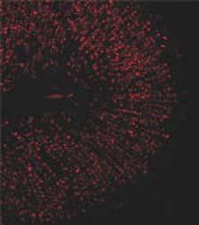 Immunocytochemistry - APJ Receptor antibody (ab66218)
