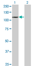 Western blot - Daxx antibody (ab66238)