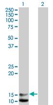 Western blot - BNP antibody (ab66240)