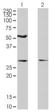 Western blot - HIPPI antibody (ab66241)