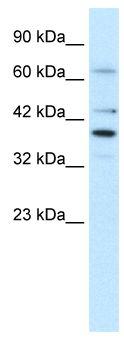 Western blot - POU4F3 antibody (ab66260)