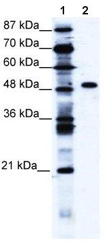 Western blot - ZNF541 antibody (ab66264)