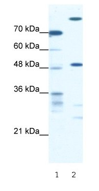 Western blot - NFS1 antibody (ab66272)