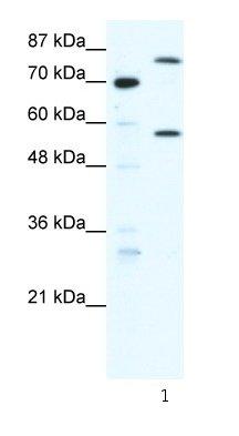 Western blot - Myoneurin antibody (ab66273)