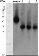 Western blot - Apolipoprotein M antibody [8F12C6B8] (ab66379)