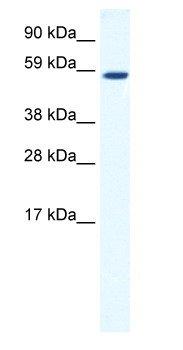 Western blot - TAF1B antibody (ab66395)