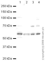 Western blot - Anti-Hemogen antibody (ab66550)