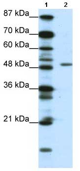 Western blot - DPF2 antibody (ab66647)