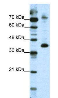 Western blot - NKRF antibody (ab66656)