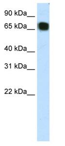Western blot - ZFP64 antibody (ab66658)