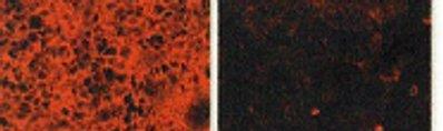Immunocytochemistry/ Immunofluorescence - HB EGF antibody [4G10] - Azide free (ab66792)