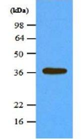 Western blot - PPP1A antibody [4G3] (ab66955)
