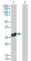Western blot - DUSP19 antibody (ab67012)