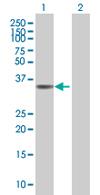 Western blot - PPP2R4  antibody (ab67066)