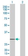 Western blot - OR3A4 antibody (ab67107)