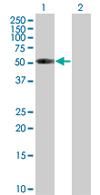 Western blot - ATP6V1H  antibody (ab67125)