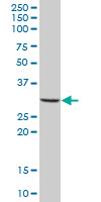 Western blot - MS4A4A antibody (ab67134)