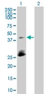Western blot - SFRS5 antibody (ab67175)