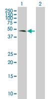 Western blot - COX10 antibody (ab67197)