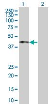 Western blot - MIR16 antibody (ab67214)