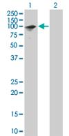 Western blot - ZNF43 antibody (ab67243)