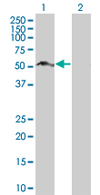 Western blot - SH2D4A antibody (ab67249)