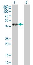 Western blot - IGBP1 antibody (ab67253)