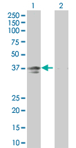 Western blot - Anti-Inhibin beta E chain antibody (ab67268)