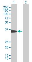 Western blot - MRPS18B antibody (ab67289)