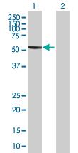 Western blot - SFRS17A antibody (ab67347)