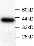 Western blot - Annexin IV antibody [3] (ab67354)