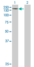 Western blot - FRMPD1 antibody (ab67364)